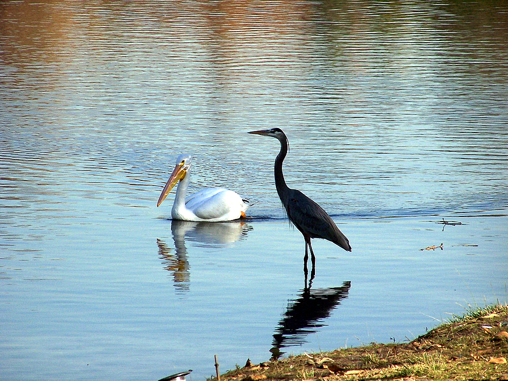 Image of Pelican and heron